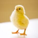 В Ростовской области от гриппа птиц привито более 2 млн голов