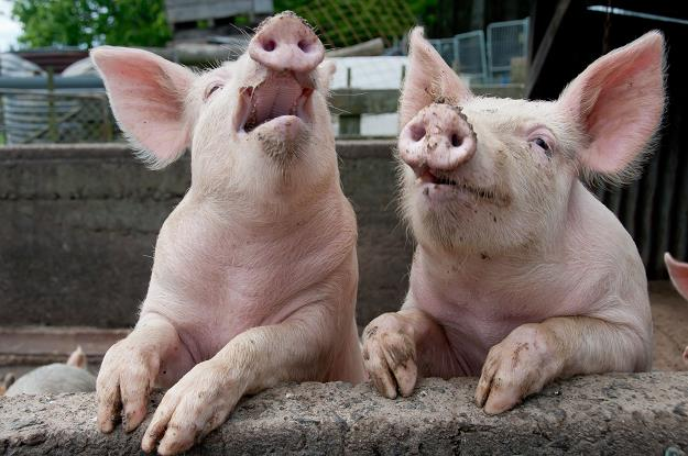 В России увеличилось поголовье свиней и птицы, снизилось — КРС