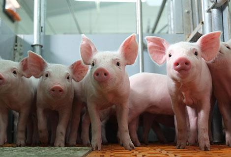 Воронежская область: Свиноводческий центр в Каменском районе станет одним из крупнейших в России