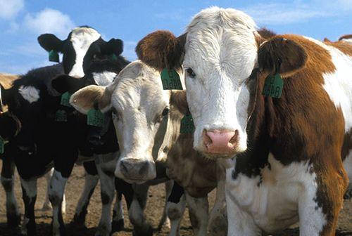 За пять месяцев этого года поголовье крупного рогатого скота в Краснодарском крае сократилось на 1,2%