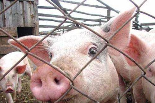 Воронежских фермеров научат противостоять африканской чуме свиней