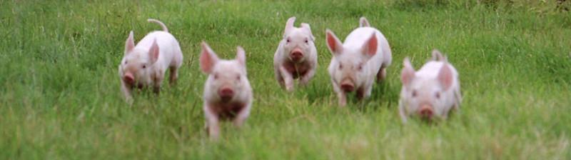 Краснодарский край: На начало 2019 года в регионе насчитывалось 515 тысяч голов свиней