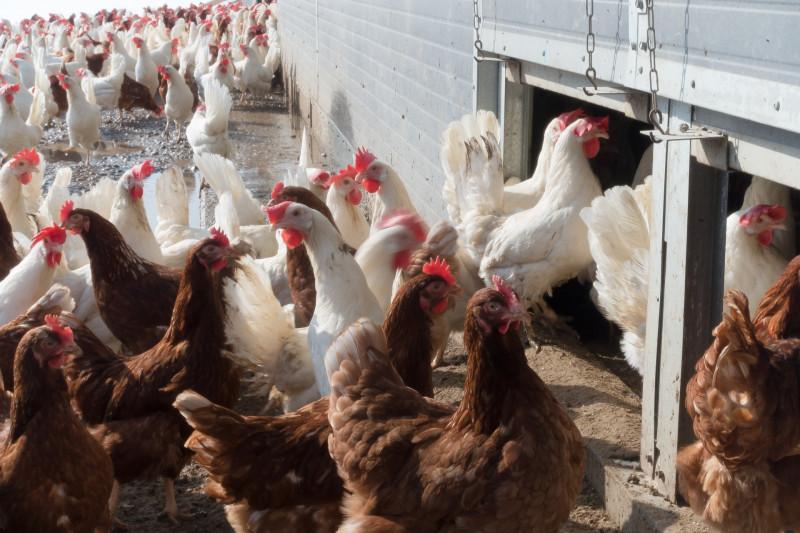 Птицу на «Евродоне» могли заразить птичьим гриппом намеренно
