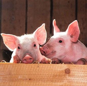 Курская битва «Мираторга»: Чем грозят планы компании по строительству свинокомплекса